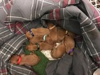 Vizsla Puppy For Sale near 80909, Colorado Springs, CO, USA