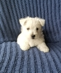 West Highland White Terrier Puppy For Sale in AMHERST, NE,