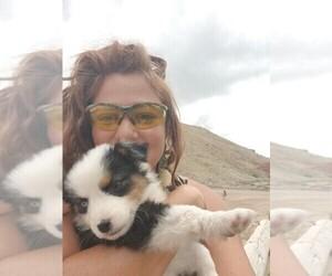 Australian Shepherd Puppy for sale in BREWSTER, CO, USA