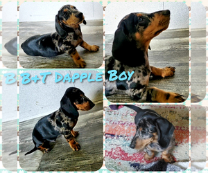 Dachshund Puppy for sale in WILLS POINT, TX, USA