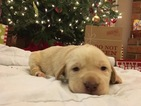 Labrador Retriever Puppy For Sale in EASLEY, SC