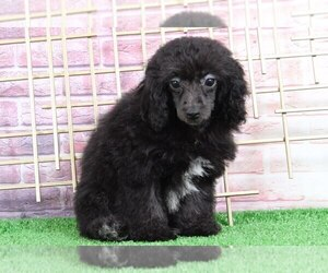 Poodle (Miniature) Puppy for sale in BEL AIR, MD, USA