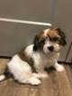 Zuchon Puppy For Sale in KNOXVILLE, TN, USA