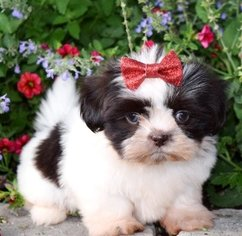 Shih Tzu Dog For Adoption in SUGAR LOAF, NY, USA
