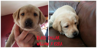 Labrador Retriever Puppy for sale in PRAIRIE DU SAC, WI, USA