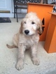 Goldendoodle Puppy For Sale in LEO, IN, USA