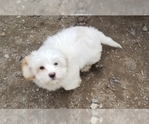 Cavaton Puppy for Sale in HENNIKER, New Hampshire USA