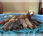 Labrador Retriever Puppy For Sale in NILES, MI, USA