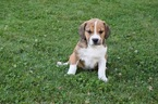 Beabull Puppy For Sale in FREDERICKSBURG, OH, USA