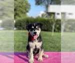 Puppy 2 Goberian