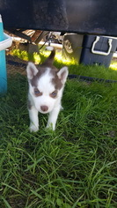 Siberian Husky Puppy For Sale in CENTRAL POINT, OR, USA