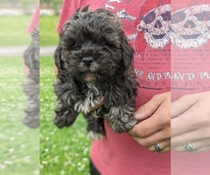 ShihPoo Puppy for Sale in SPENCER, Tennessee USA
