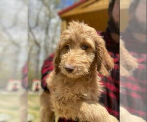 Aussiedoodle Puppy for sale in SPENCER, TN, USA
