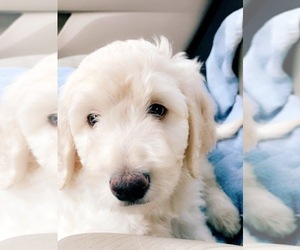 Goldendoodle Puppy for sale in HARRISBURG, NC, USA