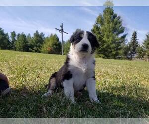 Border-Aussie Puppy for sale in STURGEON LAKE, MN, USA