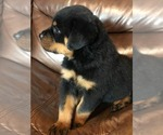 Puppy 2 Rottweiler
