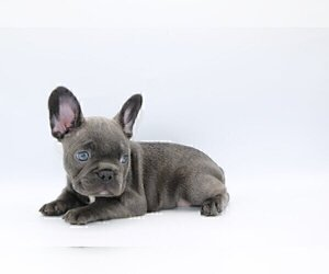 French Bulldog Puppy for sale in NAPLES, FL, USA