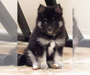 Pomsky Dog for Adoption in SEBRING, Florida USA