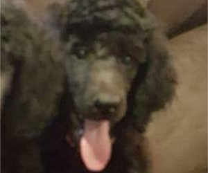 Poodle (Standard) Puppy for Sale in TULSA, Oklahoma USA