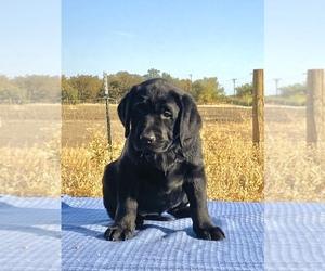 Labrador Retriever Puppy for Sale in GUINDA, California USA