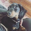 Dachshund Puppy For Sale in INDIANAPOLIS, IN