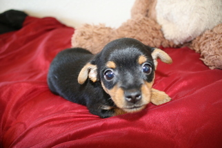 Chorkie Puppy For Sale in SAN ANTONIO, TX, USA