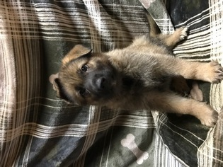 German Shepherd Dog Puppy For Sale in SAN ANTONIO, TX, USA
