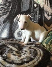 Bull Terrier Puppy for sale in Dawes Point, New South Wales, Australia