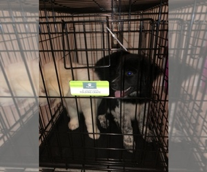 Great Pyrenees Puppy for sale in DALE CITY, VA, USA