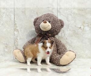 Shetland Sheepdog Puppy for sale in AMITY, NC, USA
