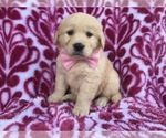 Blossom the AKC Golden Retriever