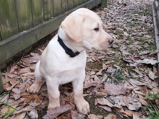 Labrador Retriever Puppy for sale in GREENWELL SPRINGS, LA, USA