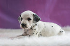 Dalmatian Puppy For Sale in KENSINGTON, OH, USA