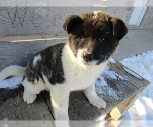 Akita Puppy for sale in HUDSON, MI, USA