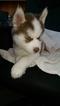 Siberian Husky Puppy For Sale in ELLENDALE, MN