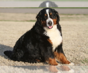 Bernese Mountain Dog Puppy for Sale in PIEDMONT, South Carolina USA