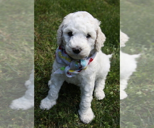 Poodle (Standard) Puppy for sale in PIGEON FORGE, TN, USA