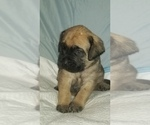 Small #14 Mastiff