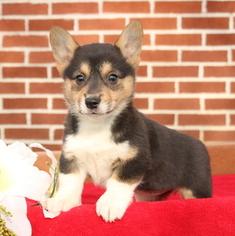 Pembroke Welsh Corgi Puppy for sale in GAP, PA, USA