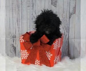 Poodle (Toy) Dog for Adoption in FREDERICKSBG, Ohio USA