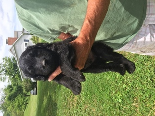 Goldendoodle Puppy for sale in BOONE, NC, USA