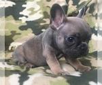 Small #14 French Bulldog