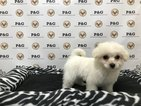 Maltipom Puppy For Sale in TEMPLE CITY, CA, USA