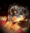 Rottweiler Puppy For Sale in BROOKLYN, NY