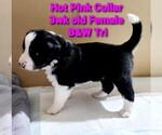 Small #4 Border Collie