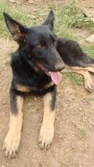 German Shepherd Dog Puppy for sale in GASTON, OR, USA