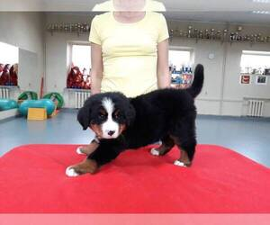 Bernese Mountain Dog Puppy for sale in BOSTONIA, CA, USA