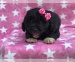 Goldendoodle Puppy For Sale in MYERSTOWN, PA, USA