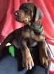 Doberman Pinscher Puppy For Sale in CHICAGO, Illinois,