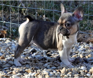 French Bulldog Puppy for Sale in ROYSE CITY, Texas USA